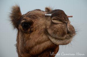 Pushkar India Camel Fair